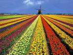 this is really Holland at its best, look at the tulips.