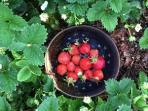 Fresh Strawberries in season