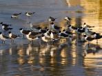 Birds on Silver Cove Beach