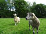 Some of our sheep - Mango and Chuntney!