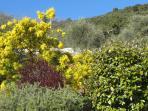 Notre beau mimosa
