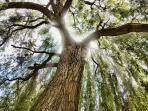 100-year-old weeping willow impresses everyone