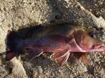 Mangrove Jack, Barramundi and Sooty Grunter can be caught in the Herbert River.