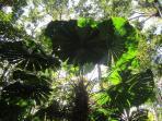 majestic rainforest fan palms