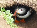 Puffin in a hole taken on a trip to the Treshnish Isles