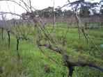 Winter time in the vineyard