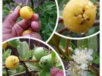 'lemonade guava' in the back yard