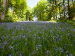 Bluebell woods at Lochinch Castle and Castle Kennedy Gardens