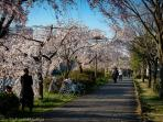 Cherry blossoms along the Kamogawa River