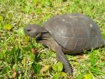 We are pet friendly!  This 14' gopher turtle was one of our first guests and can be seen roaming.