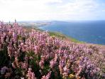 Coastal sea braes behind the cottage covered in heather in bloom in August