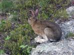 Resident rabbit.