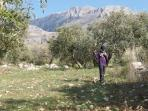 In the olive grove in winter