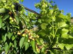 Cherries growing on our trees