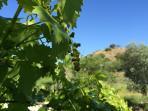 Summer fruit - grape vines at pool terrace