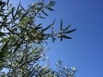 Olives flower in Spring for winter harvest