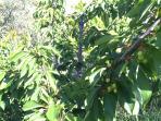 Cherries ripen in late spring