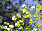 THE CANYON IS FILLED WITH DOGWOOD BLOOMS IN SPRING