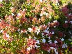 Detail of our flowers: Abelia Rupestris