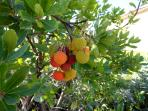 Details of one of our fruits: Arbutus unedo