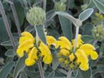 Details of our flowers: Phlomis fruticosa