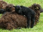 See our flock of native rare breed Ouessant sheep