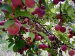 ameixieiro com frutos (dentro da propriedade)