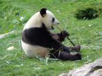 monsieur le panda du zooparc de Beauval