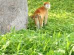nos voisins les singes