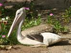 les pelicans nos voisins