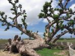 baobab couché