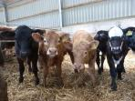 Some of our curious calves !