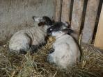Nos petits agneaux