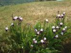 See the natural array of wild irises in June