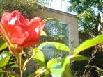 roses in the enhanced garden