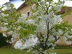 Cherry blossom near breakfast terrace