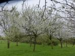 Orchard in flower