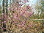 Redbuds bloom in the springtime.