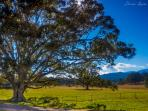 Our 100 yr old Morton bay Fig tree.. our beauty.. what a backdrop!