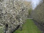 De prachtige bloesem van de naast gelegen boomgaard.