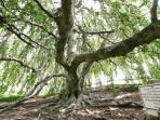 150 year old weeping beech tree, a two minute walk away
