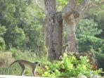 Monkeys often visit the mahogany trees in early morning.  Please do not encourage or feed them