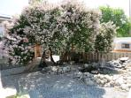 Gorgeous old lilac tree gives shade to the covered pation