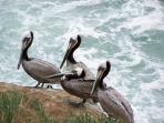 Pelicans at La Jolla