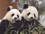 Giant Pandas - San Diego Zoo