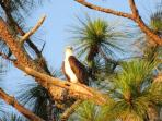 Bald Eagles live right outside your door