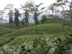 Rangli Ragliot tea Garden - Day tour