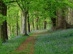 The private woodland of Melmerby Hall carpeted with bluebells in April and May
