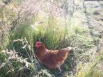 One of our happy chickens for those daily fresh eggs.