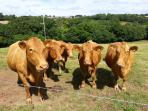 Our herd of pedigree South Devon Cattle. The Orange Elephants, soon to calf.